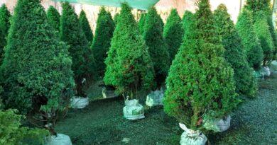 Árboles de Navidad naturales con vida